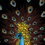 Cecelia_Webber_peacock